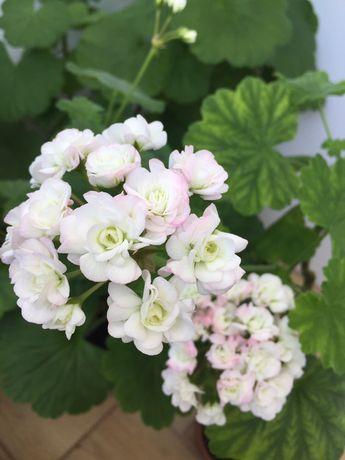 Пеларгония розебудная April Snow пеларгонія розобудна