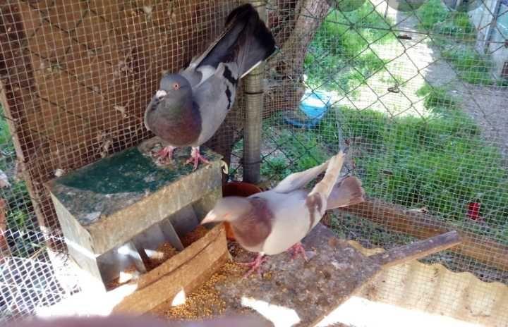 Vendo pombos/borrachos Pereira - imagem 1