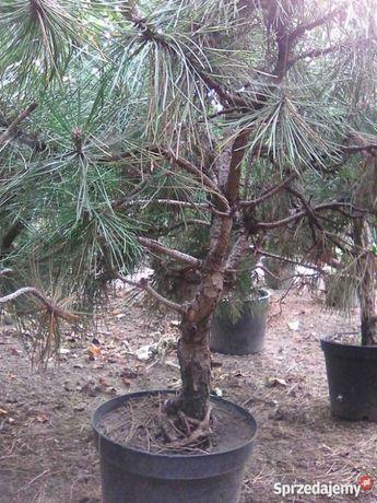 Prebonsai, bonsai