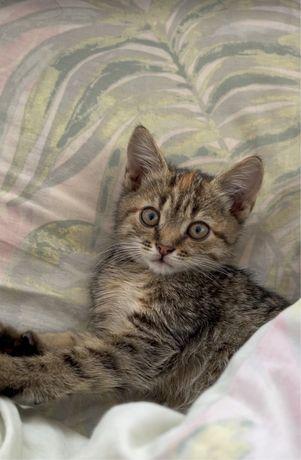 Кошка,девочка,1.5 месяца