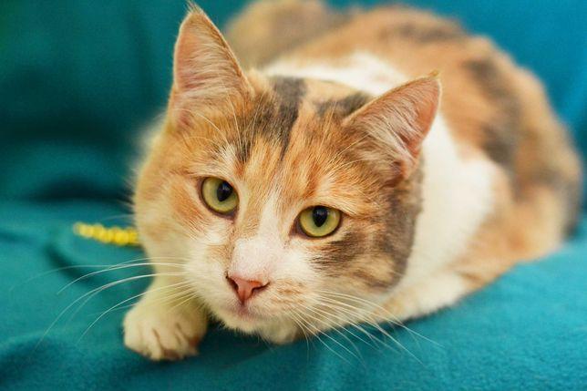 Красавица – кошка, трехцветная Феличита (1 годик, стерилизована)