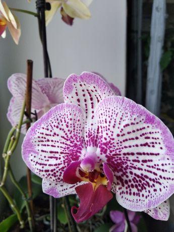 Орхидея фаленопсис цветущая крупноцвет