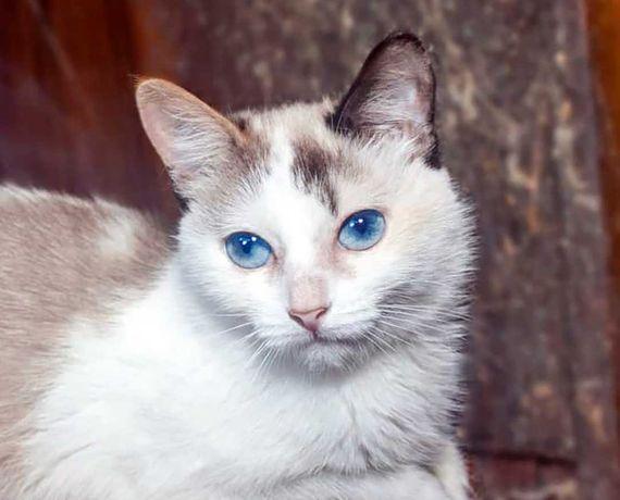 Очаровательная кошечка Амалия (6 мес.), метис сноу-шу. кошка/кішка