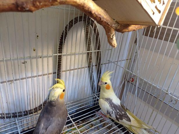Корелла птенцы красавцы . Попугай Корелка