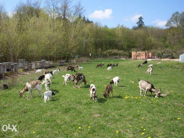 Mleko kozie, ser kozi i sernik z koziego sera.
