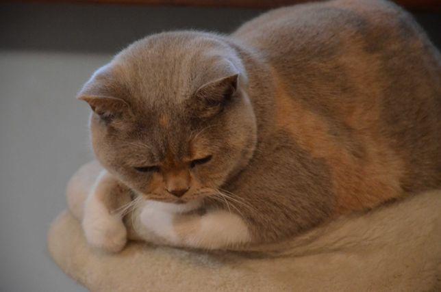 Kot brytyjski - śliczne kocurki- rodowód PZF/ WCF