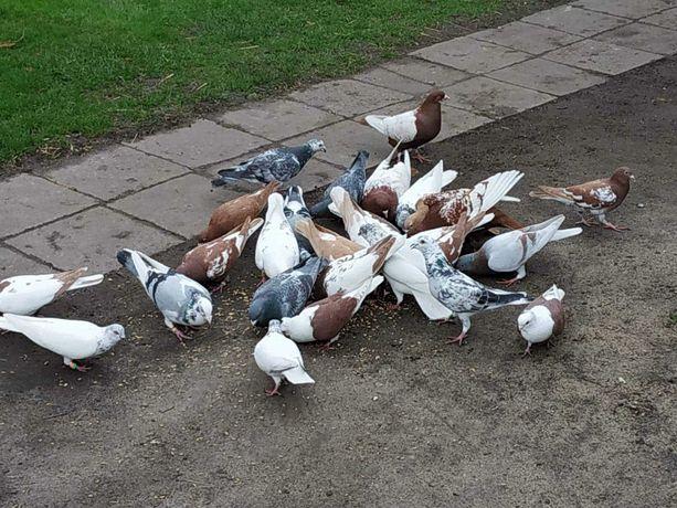 Gołębie różne Koło