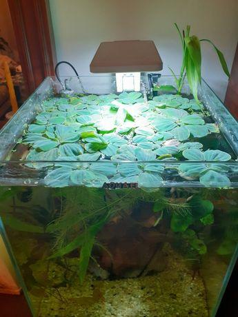 Roślina do akwarium Pistia