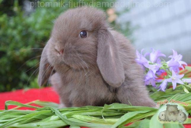 Карликовый вислоухий кролик. Самый очаровательный крольчонок!