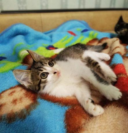 Отдам сибирских котят
