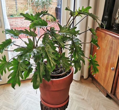 Philodendron Xanadu - Filodendron
