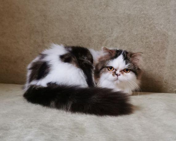 Кошка хайленд страйт