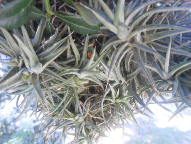 Planta epifita, vive no tronco de uma árvore