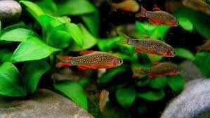 Danio Margaritatus (Celestial Pearl Danio) - 10 peixes por €20