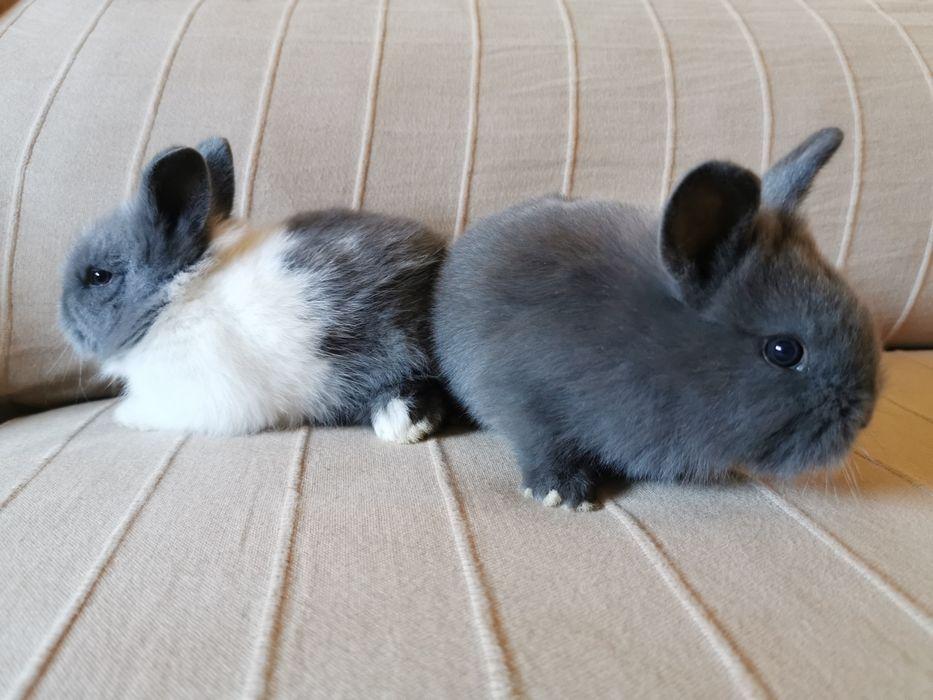 Coelhos anões mini holandês, minitoy e mini Lop super fofos Loures - imagem 1