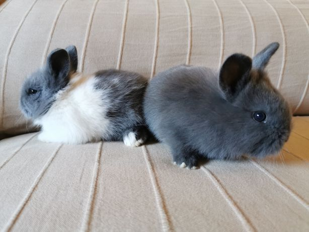 Coelhos anões mini holandês, minitoy e mini Lop super fofos