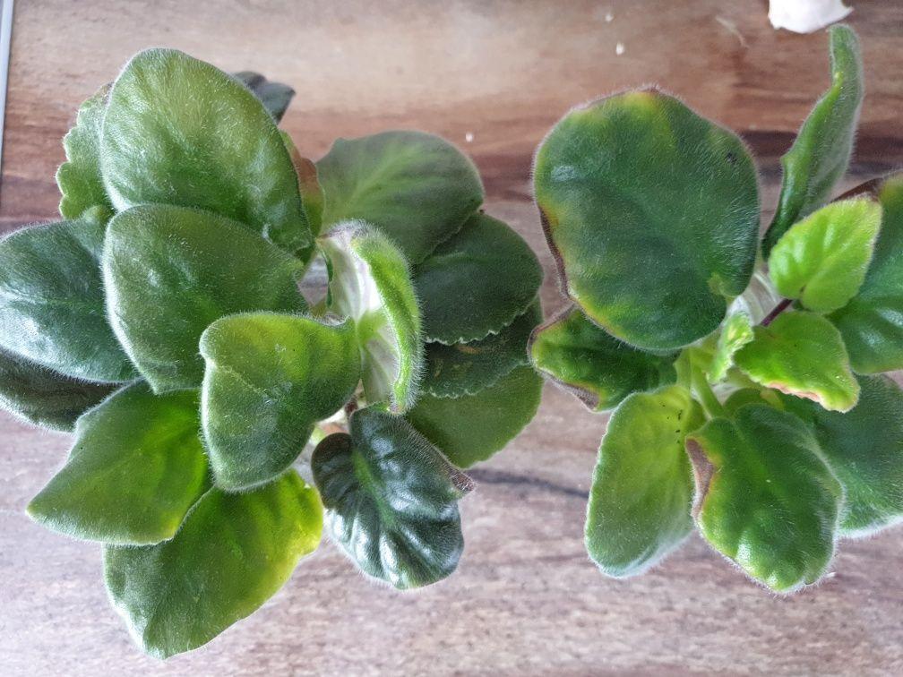 Фіалки листочки свіжозрізані