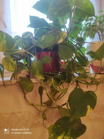Scindapsus roślin pokojowa