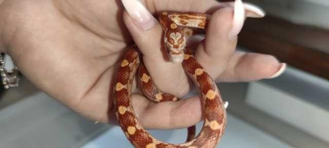 Wąż zbożowy zbożówka