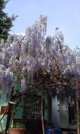 Ogrod kszew wisteri