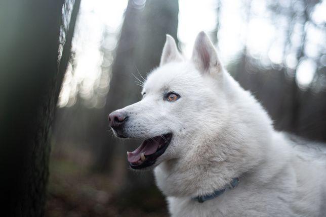 Biały Kieł cudowny, biały husky, aktywny, szuka domu