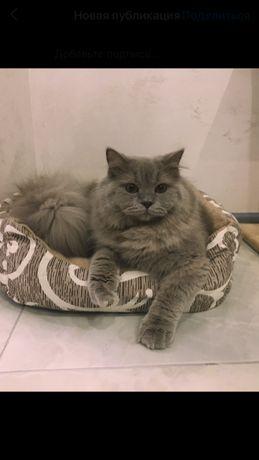 Британський довгошерстий кіт на в'язку
