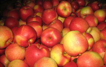 Soczyste jabłka na soki sok przetwory