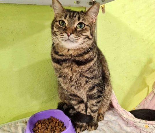 Тендітна вишукана кішечка Бьюті, 1 рік (кошеня, кішка, кіт)