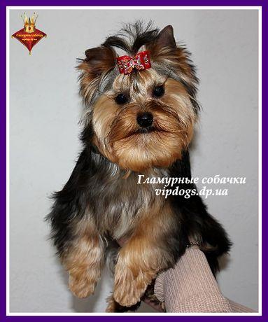 Самый танцующий щенок (видео). Питомник йорков королевского качества.