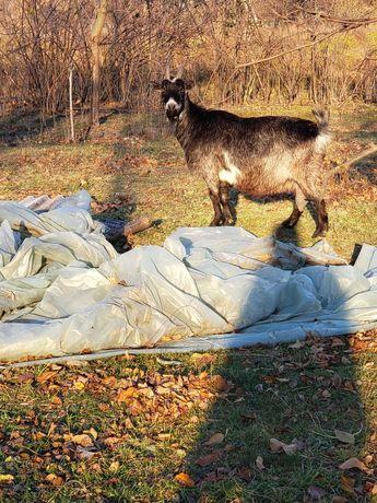 Продам козу большая горная