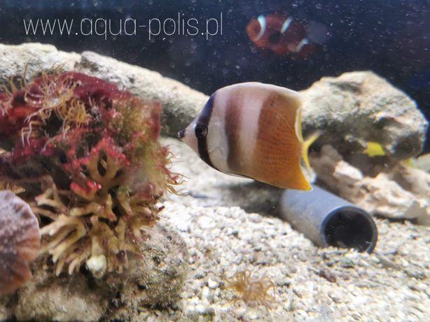 Cheatodon kleini ryba na apitasje akwarium morskie