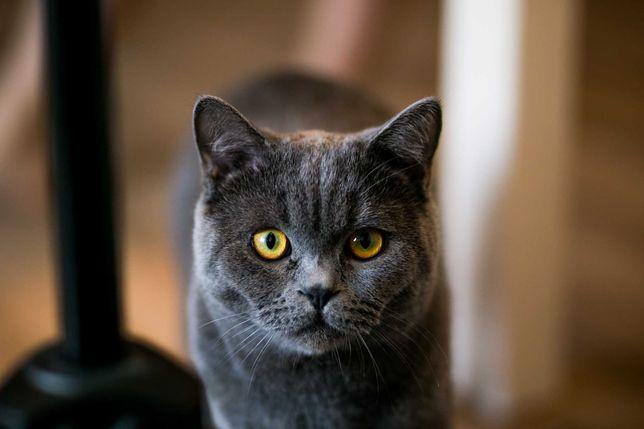 Rodowodowy kot brytyjski - Reproduktor Alonzo
