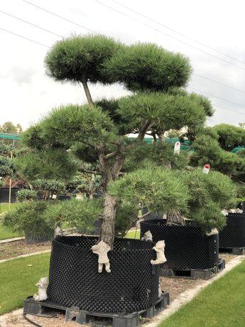 Bonsai sosna jałowiec duże drzewa klon palmowy acer