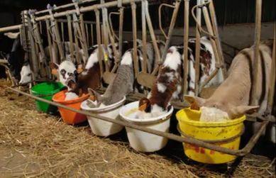 Zambrów cielaki byczki i jałoszki