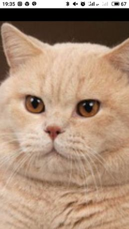 Шотландский котик приглашает на вязку