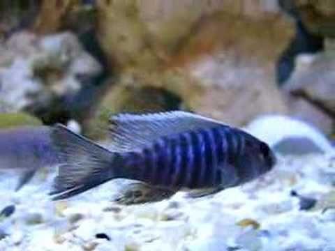 Pyszczak Aulnoacara Nyassa 5 cm
