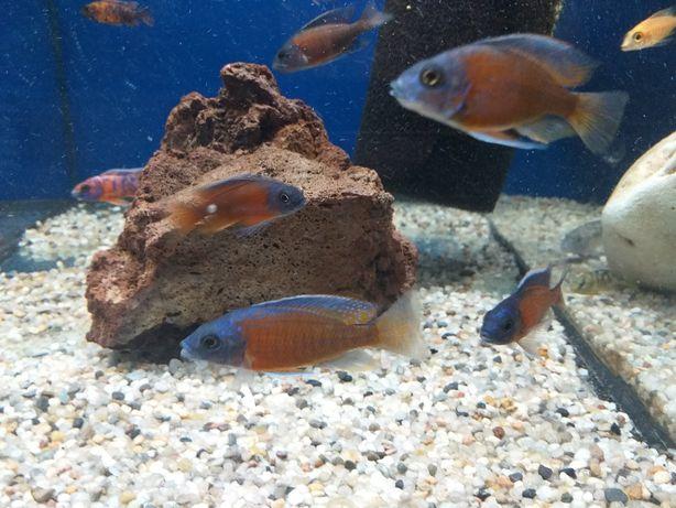 Aulonocara rybka ryba