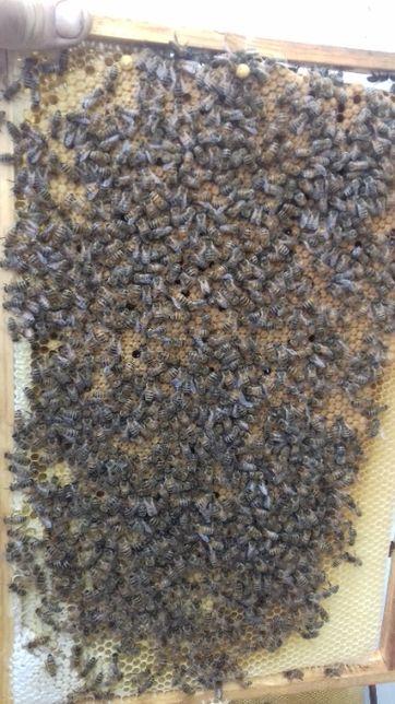 Пчелопакеты/пчелосемьи/пчеломатки