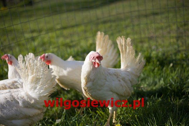 Kura nioska na jajka typowo nieśna kokoszka kury z dowozem