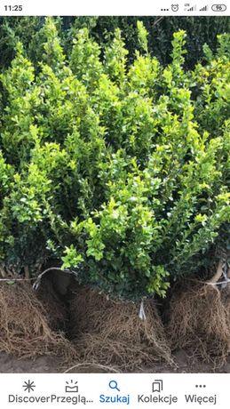 Bukszpan zielony