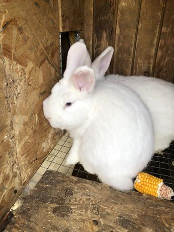 Кролики венские белые ! Молодые кроли