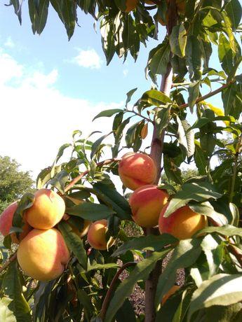 Садженці плодових та ягідних культур