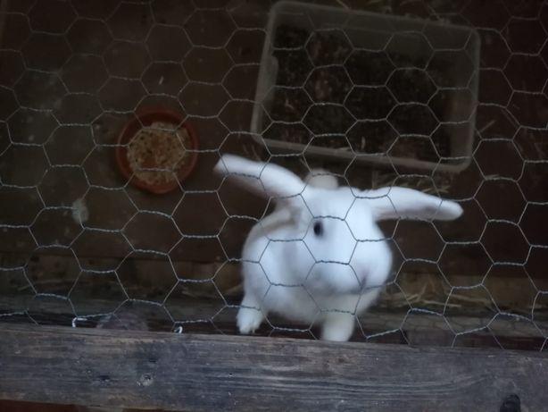 Coelha belier para adoção