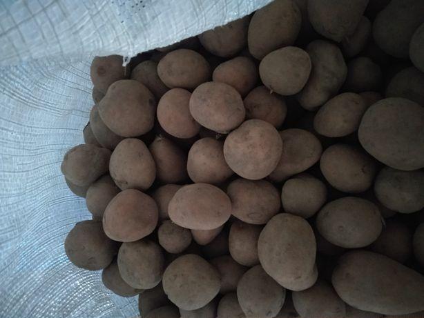 Ziemniaki sadzeniaki odmiana irga