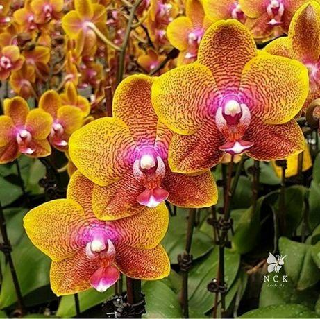 Сого Лоуренс, фаленопсис, орхидея
