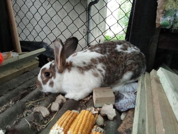 Sprzedam królika mieszaniec samica