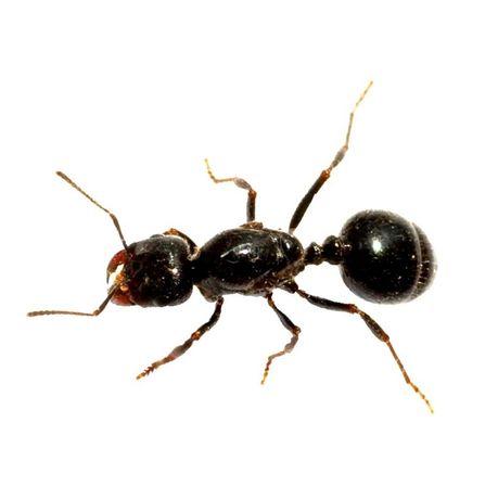 Mrówki Messor bouvieri Q 2020