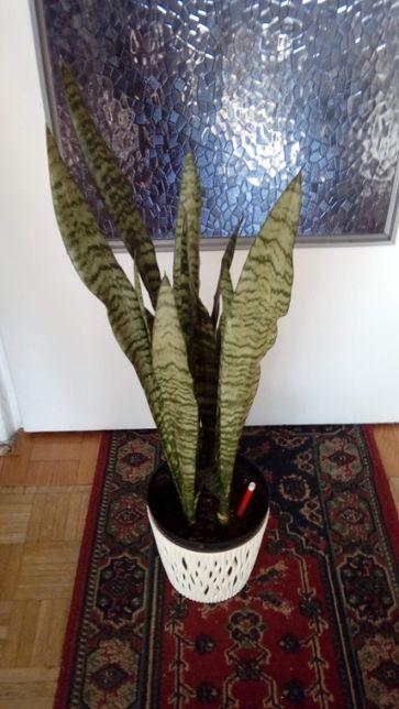 Sanseviera kwiat doniczkowy do biura i mieszkania