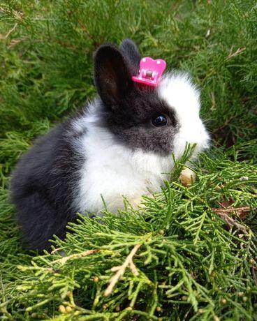 Króliczek królik teddy karzełek miniaturka gratis WYPRAWKA