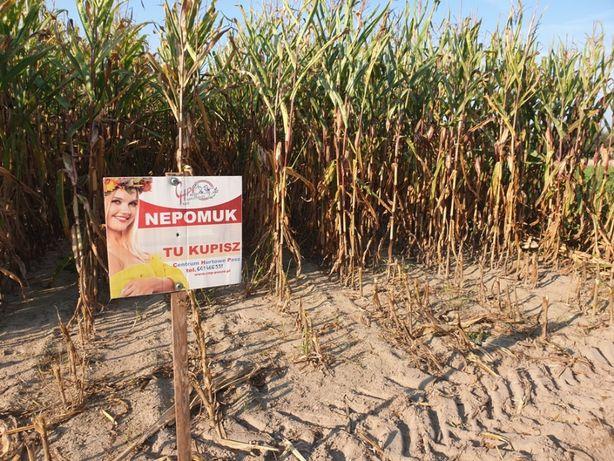 Kukurydza Nepomuk, na suszę na słabe gleby, odmiany polskie, zachodnie
